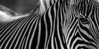 zebra-1680x840_mini